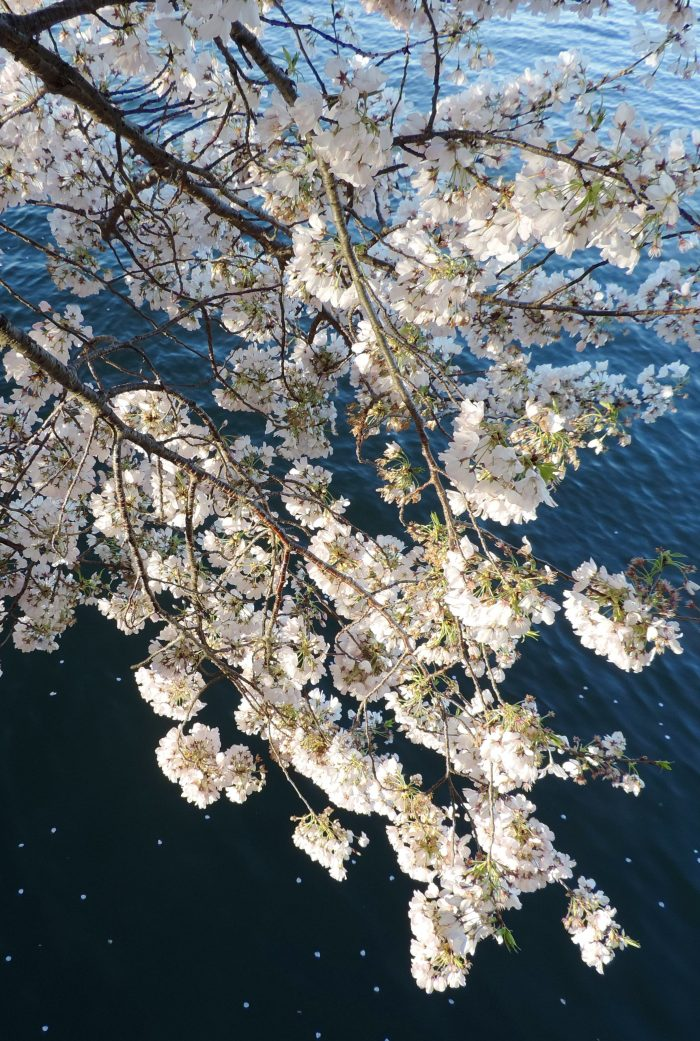 patients like cherry tree blossoms